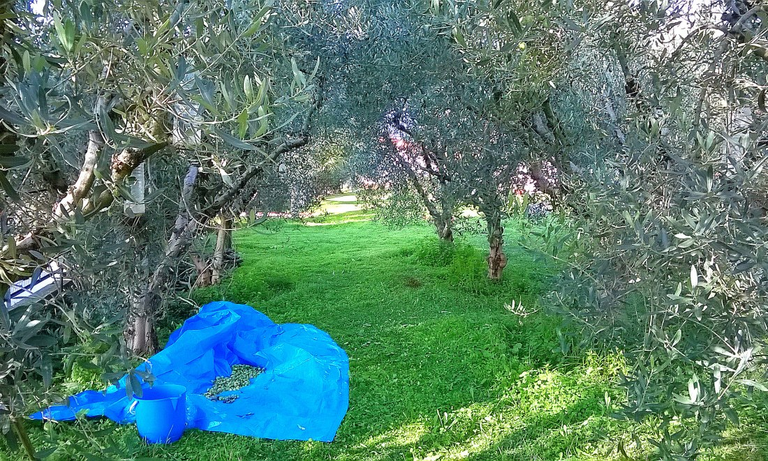 Experience the Olive grove trails